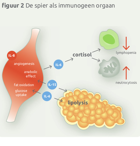 De spier is immunogeen