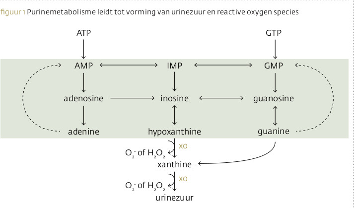 Purinemetabolisme leidt tot vorming van reactive oxygen species en urinezuur